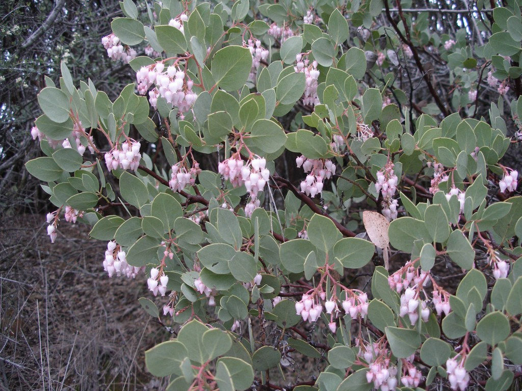 Manzanita shrub in flower