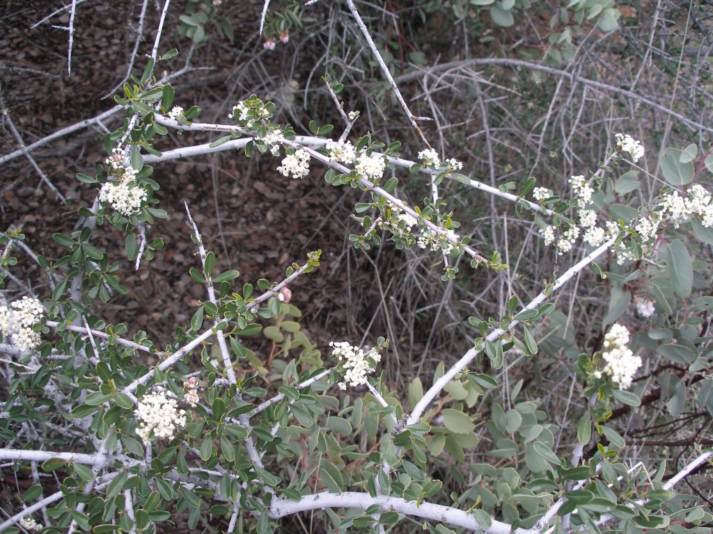 Foothill Manzanita is often found growing with Buckbrush (Ceanothus cuneatus). Both benefit wherever they grow tremendously for many different reasons. Buckbrush hosts nitrogen-fixing bacteria.